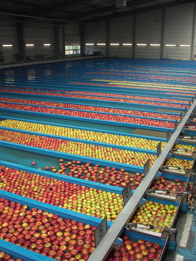 Stock photo of apples being sorted in various lanes in a sorting facility
