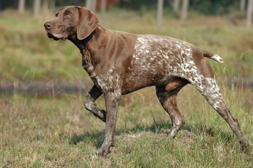 Photo of a Pointer (dog)