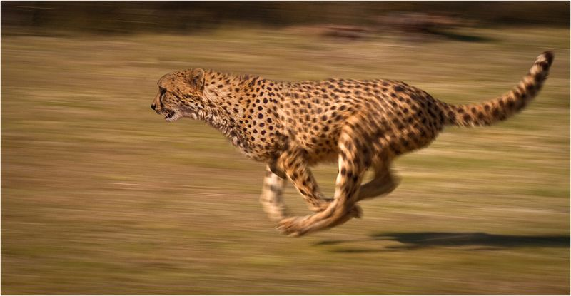 Photo of a running cheetah